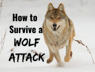 How to Survive a Wolf Attack