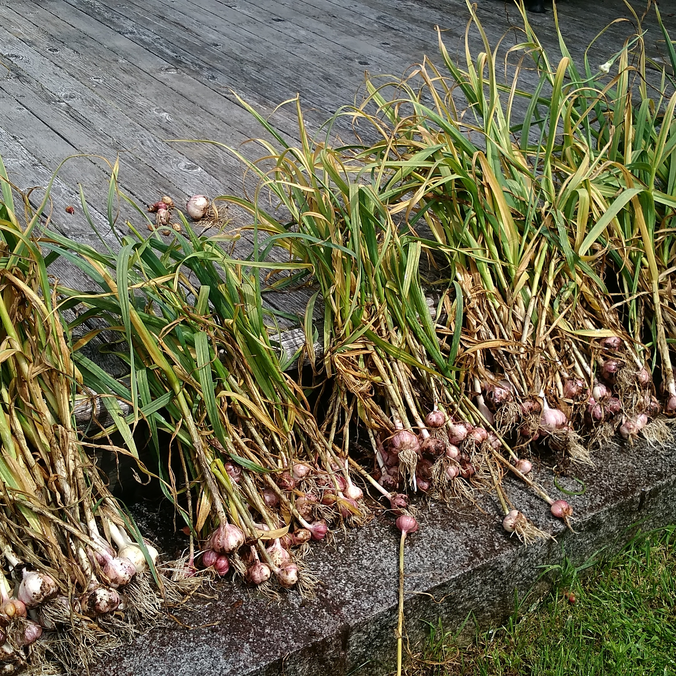 How to grow garlic - our 2018 harvest ready to wash