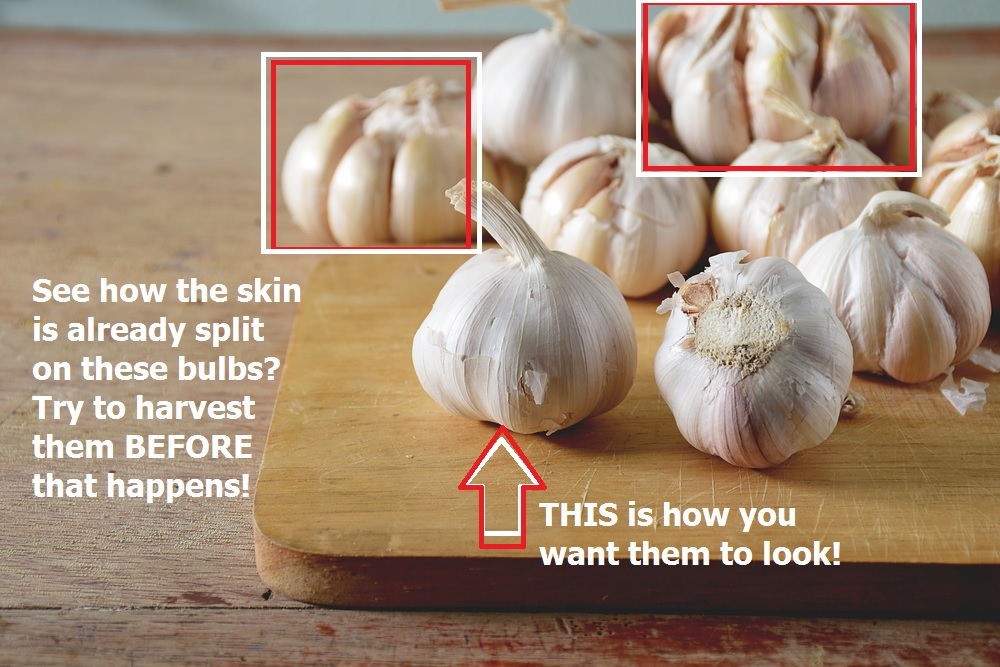How to grow garlic - don't wait too long to harvest it