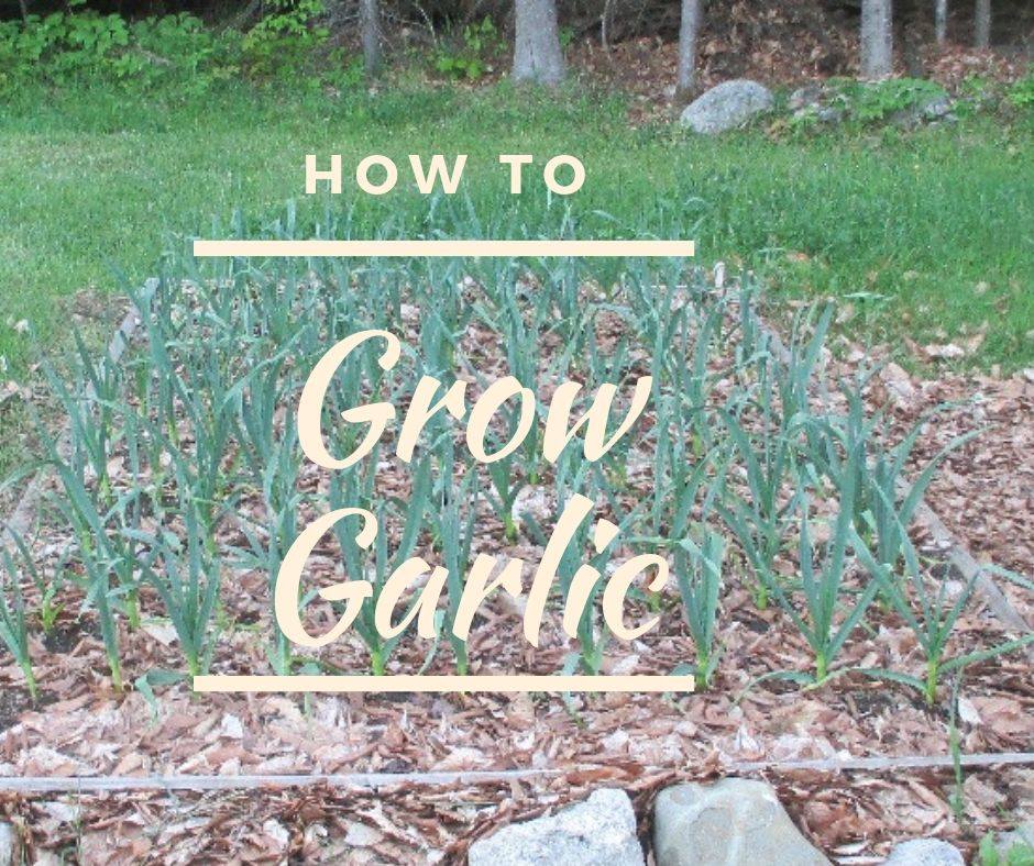 How to Grow Garlic